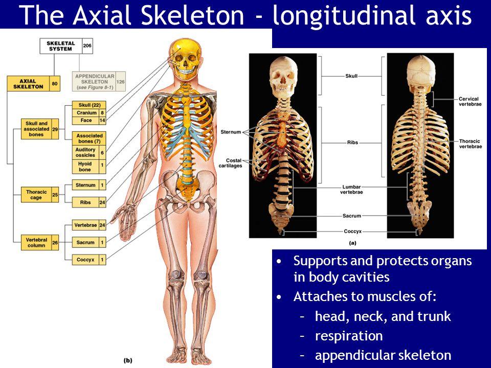 The Axial Skeleton - longitudinal axis