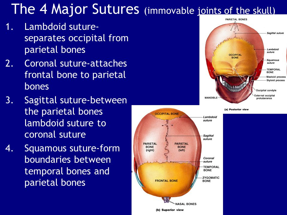 The 4 Major Sutures (immovable joints of the skull)