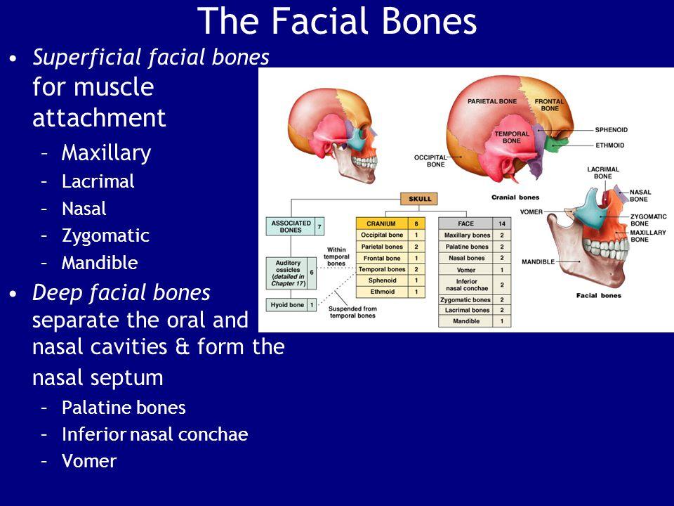The Facial Bones Superficial facial bones for muscle attachment