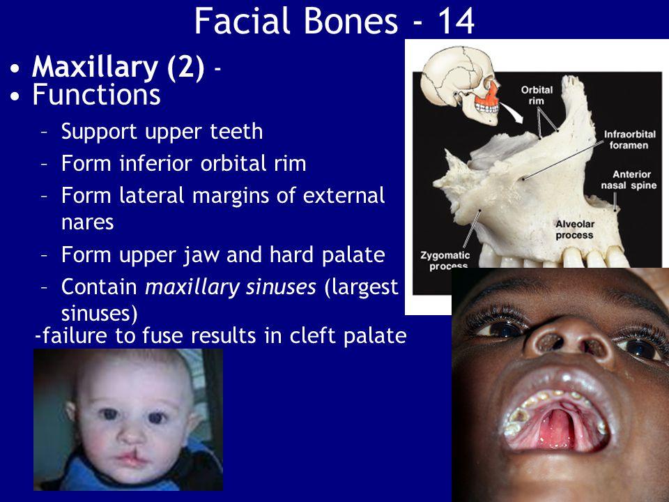 Facial Bones - 14 Maxillary (2) - Functions Support upper teeth