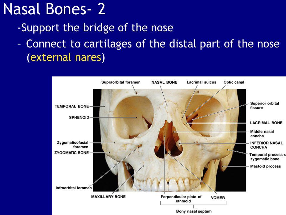 Nasal Bones- 2 -Support the bridge of the nose