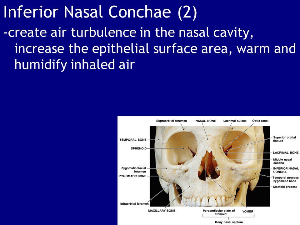 Inferior Nasal Conchae (2)