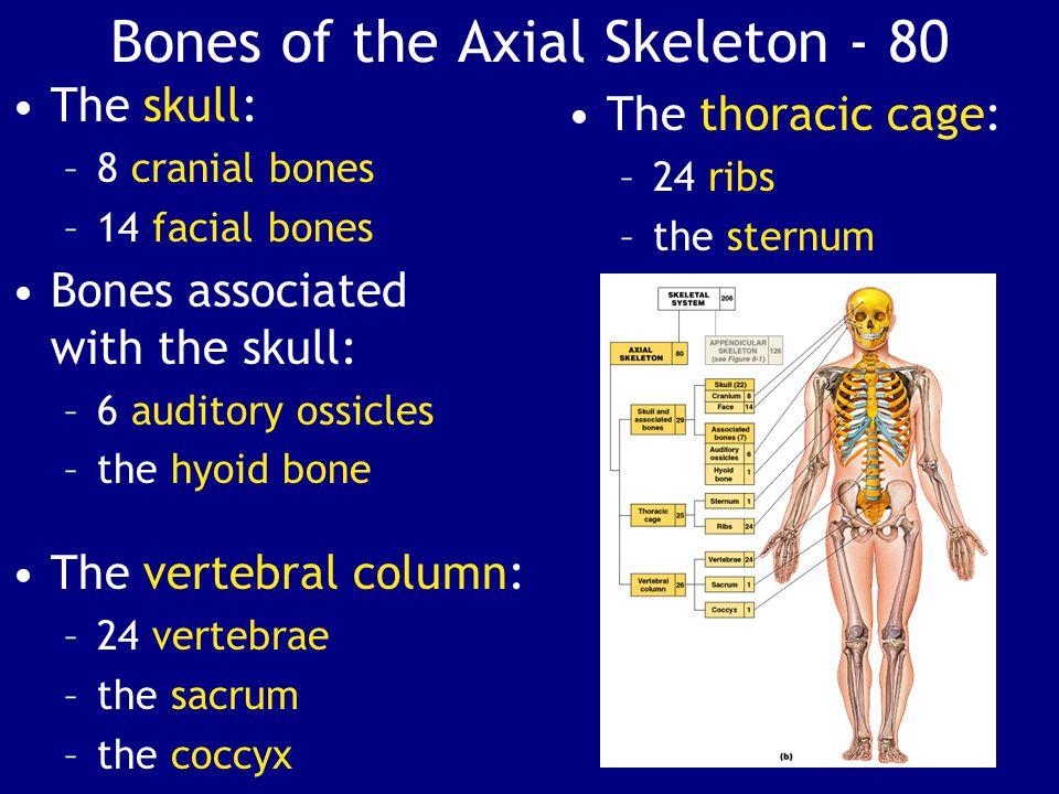 Bones of the Axial Skeleton - 80