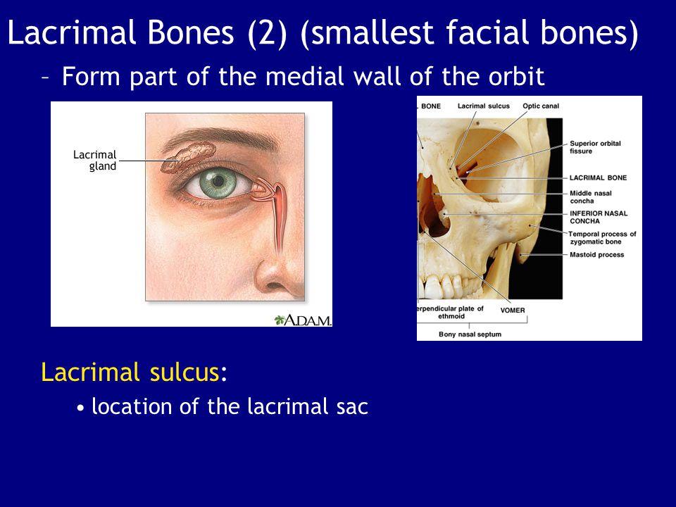 Lacrimal Bones (2) (smallest facial bones)