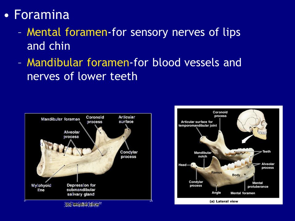 Foramina Mental foramen-for sensory nerves of lips and chin