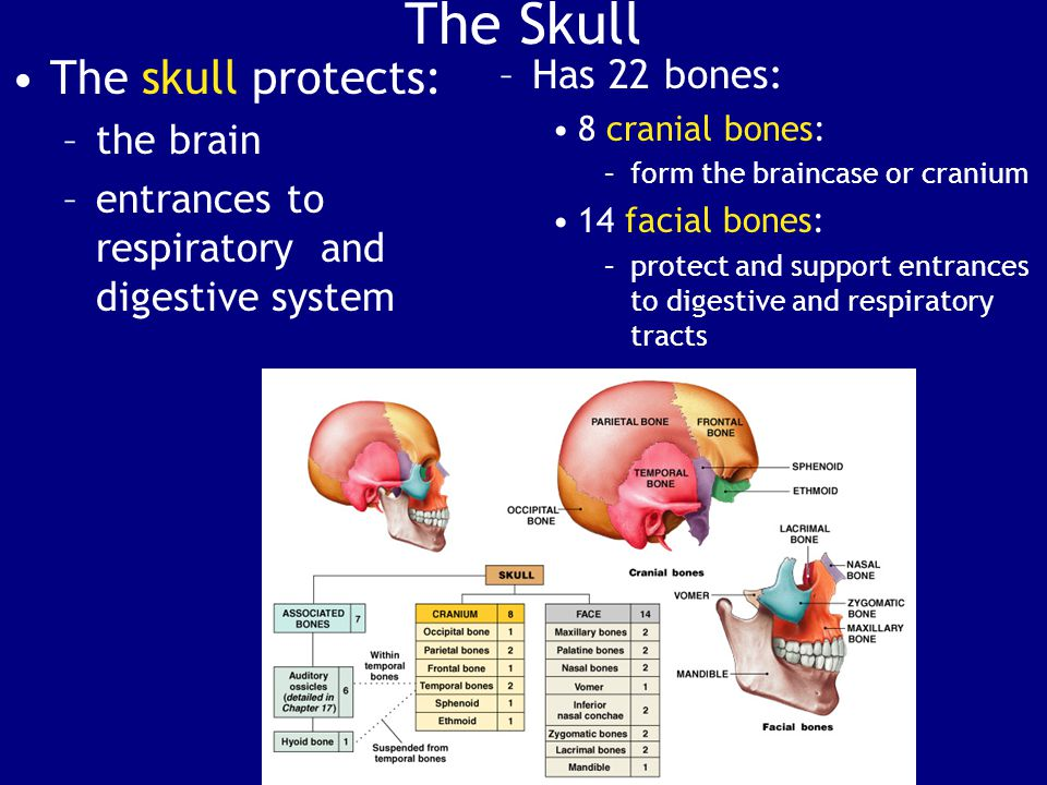 The Skull The skull protects: Has 22 bones: the brain
