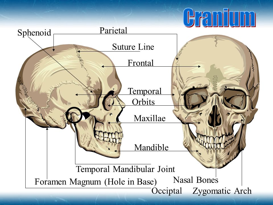 Cranium Parietal Sphenoid Suture Line Frontal Temporal Orbits Maxillae