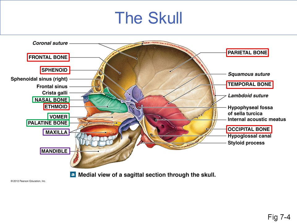 The Skull In red we can see the 8 cranial bones that enclose the brain.