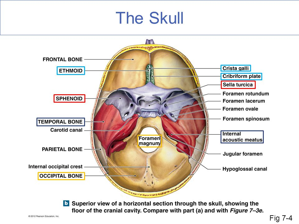 The Skull Some special features within some of the bones of the cranial cavity. Fig 7-4