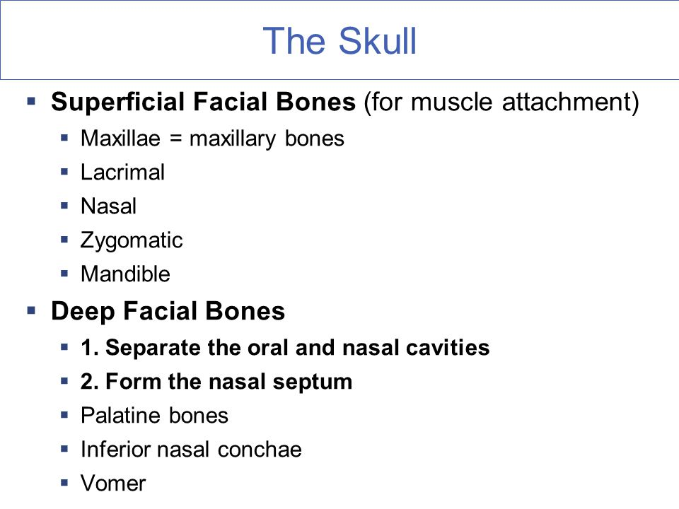 The Skull Superficial Facial Bones (for muscle attachment)
