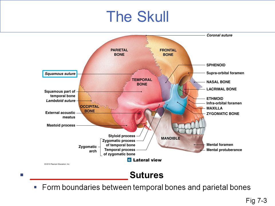 The Skull ___________________ Sutures