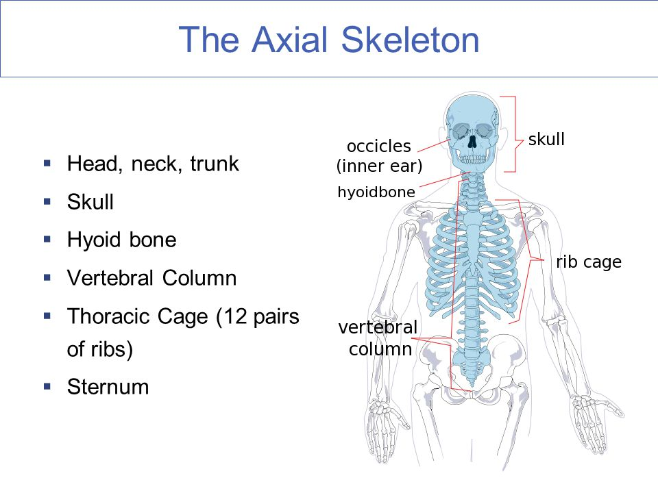 The Axial Skeleton Head, neck, trunk Skull Hyoid bone Vertebral Column