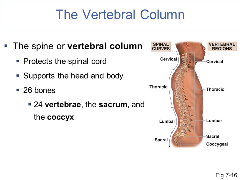 The Vertebral Column The spine or vertebral column
