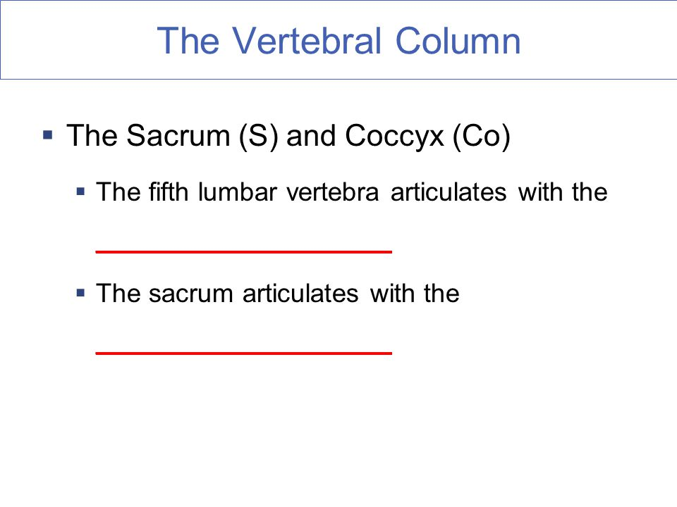 The Vertebral Column The Sacrum (S) and Coccyx (Co)