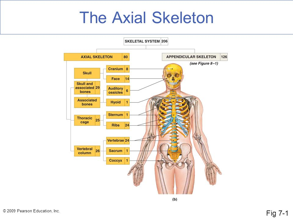 The Axial Skeleton Fig 7-1