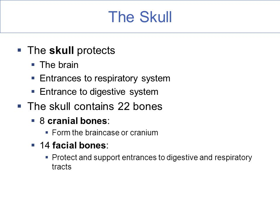 The Skull The skull protects The skull contains 22 bones The brain