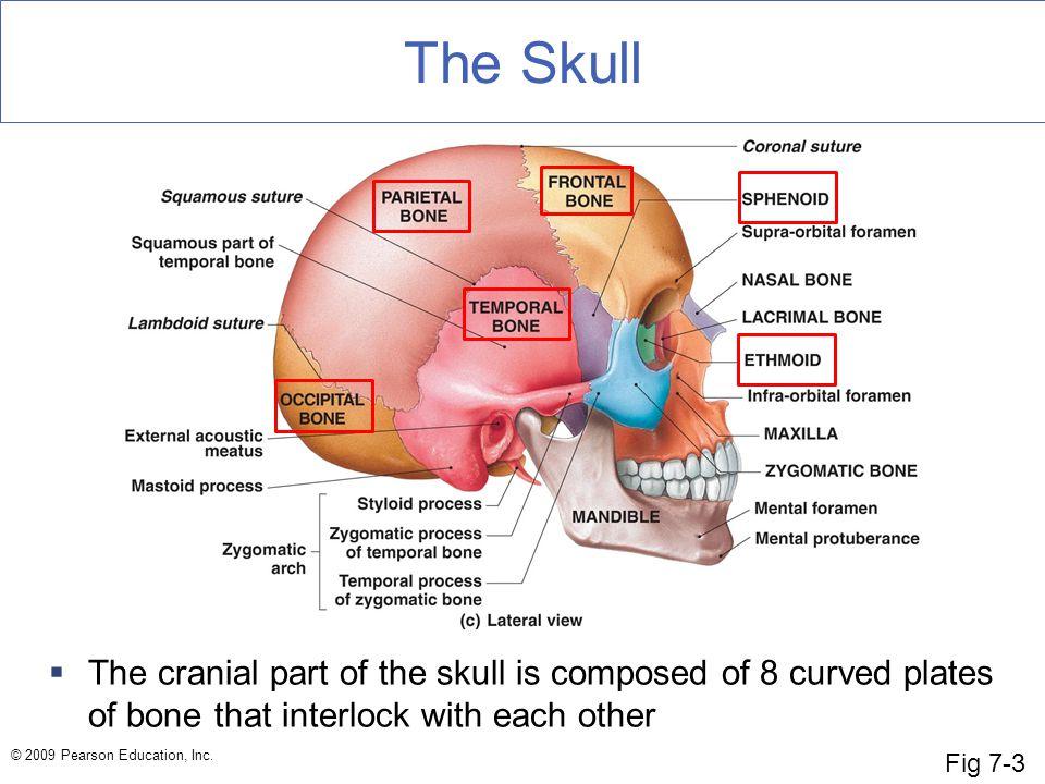The Skull Fig 7-3.