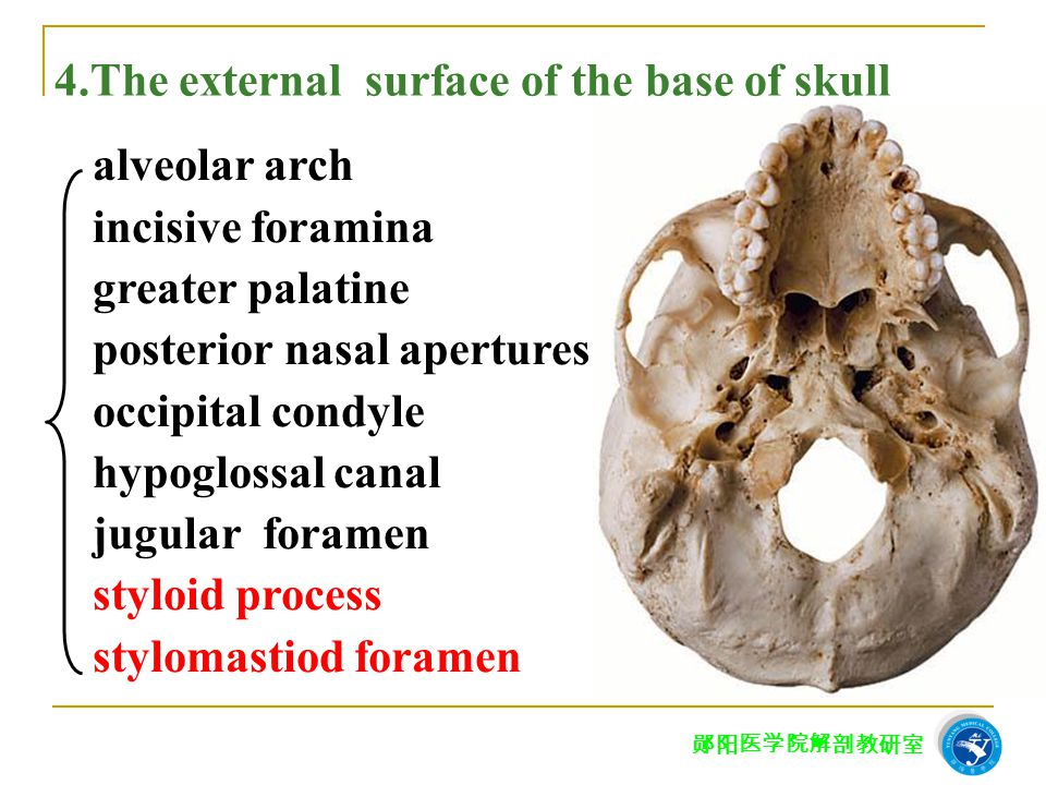 4.The external surface of the base of skull