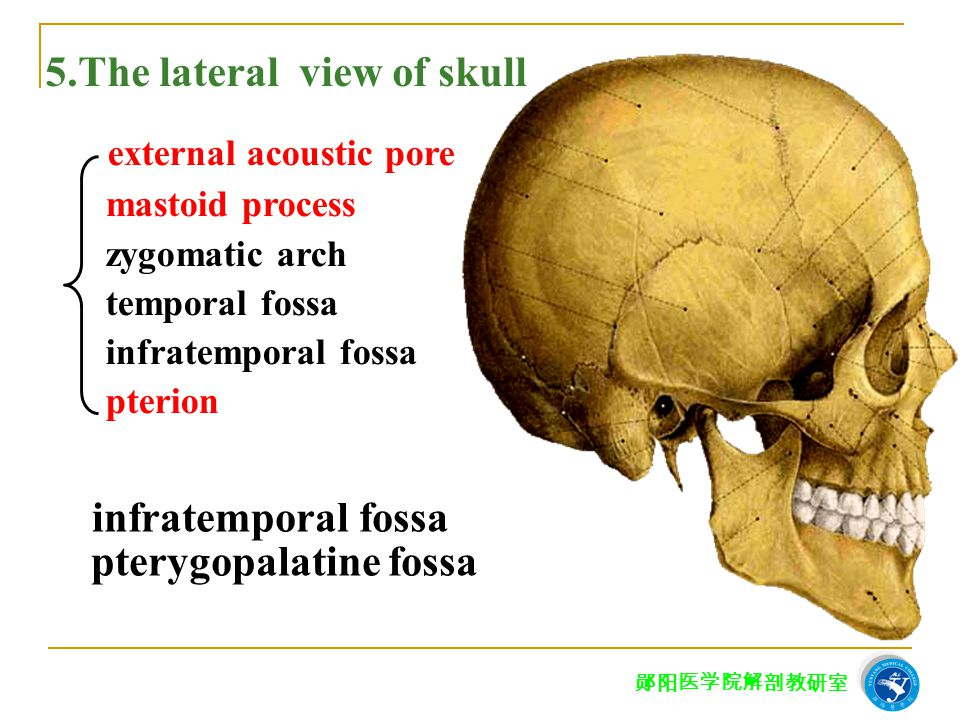 5.The lateral view of skull