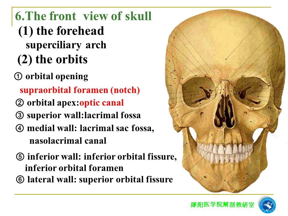 6.The front view of skull superciliary arch (2) the orbits