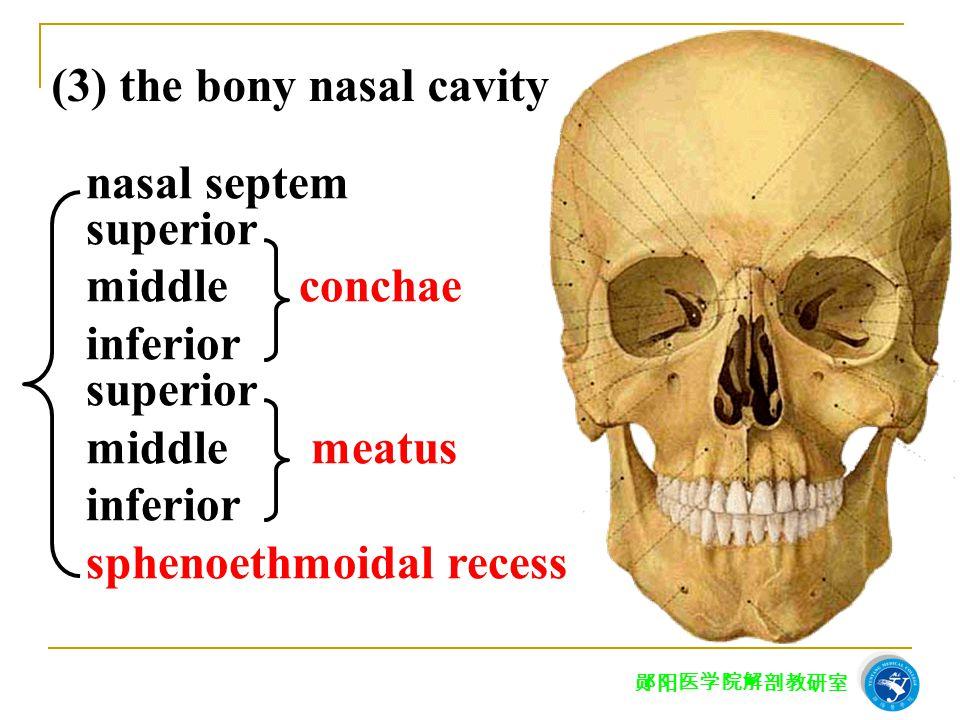 (3) the bony nasal cavity