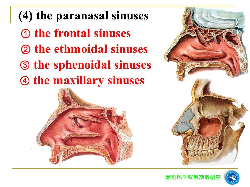 (4) the paranasal sinuses