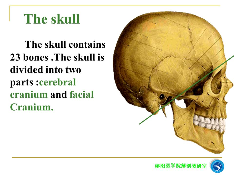 The skull The skull contains 23 bones .The skull is divided into two parts :cerebral. cranium and facial.