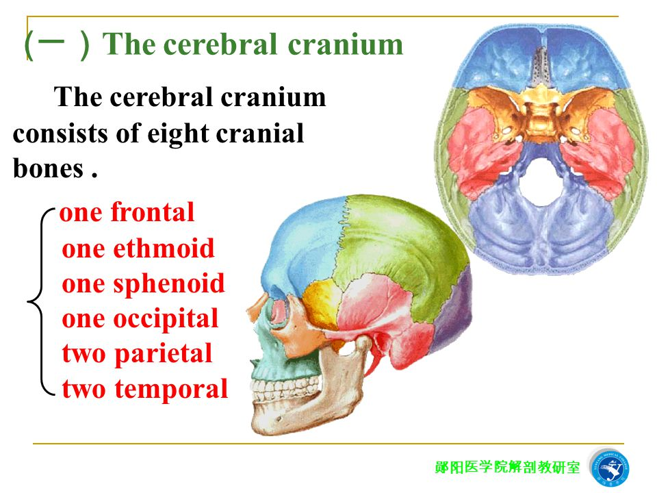 (一)The cerebral cranium