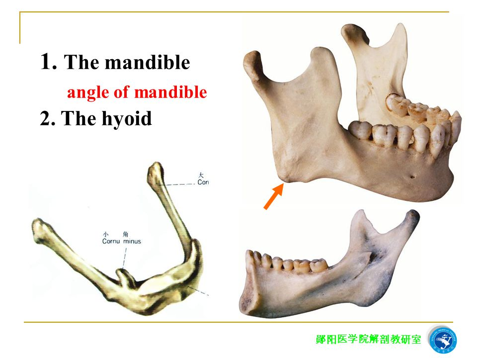 1. The mandible angle of mandible 2. The hyoid 郧阳医学院解剖教研室