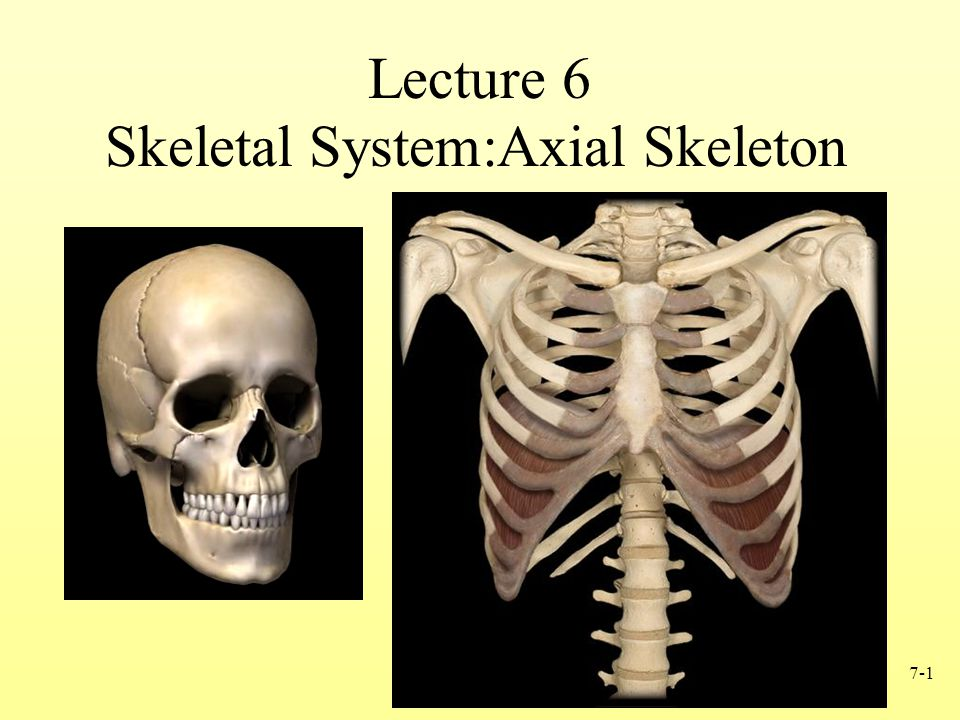 Skeletal Systemaxial Skeleton Ppt Video Online Download
