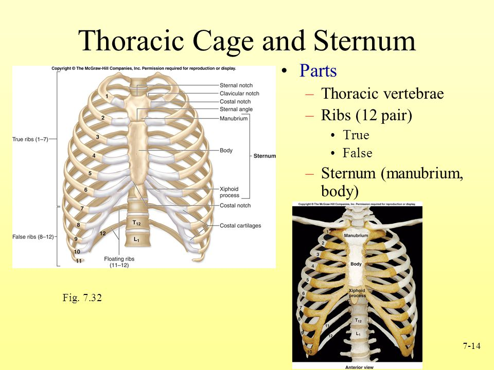 Thoracic Cage and Sternum