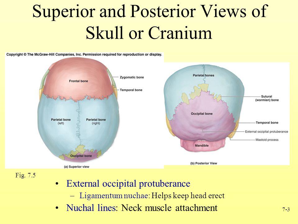 Superior and Posterior Views of Skull or Cranium