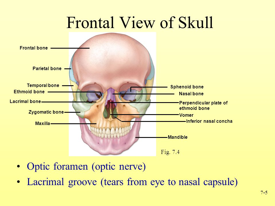 Frontal View of Skull Optic foramen (optic nerve)