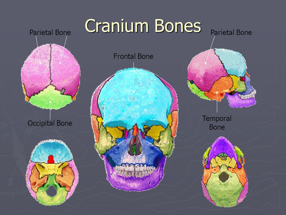Cranium Bones Parietal Bone Parietal Bone Frontal Bone Temporal Bone