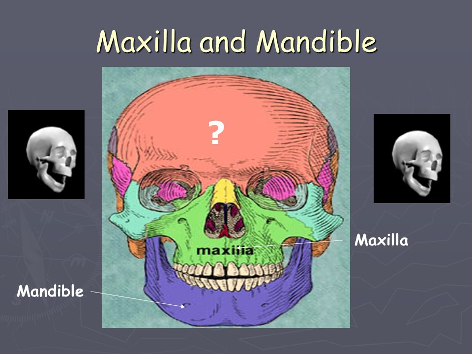 Maxilla and Mandible Maxilla Mandible