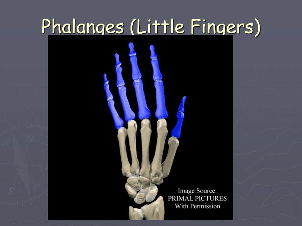Phalanges (Little Fingers)