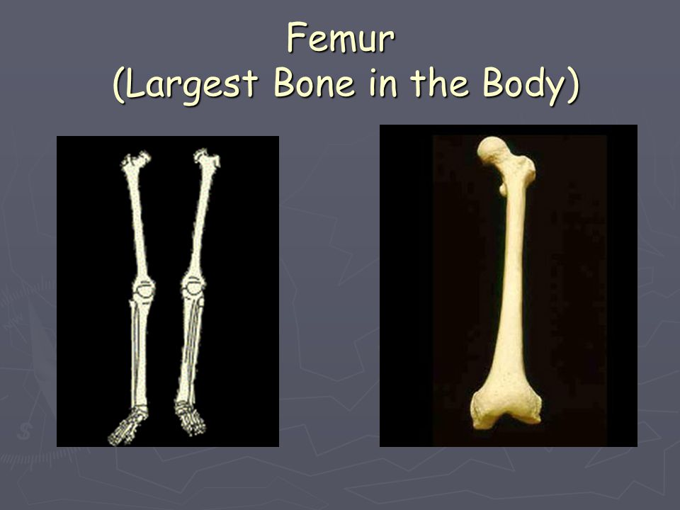 Femur (Largest Bone in the Body)