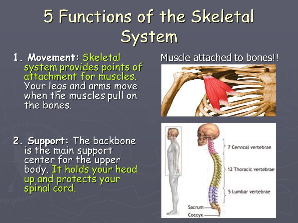 5 Functions of the Skeletal System