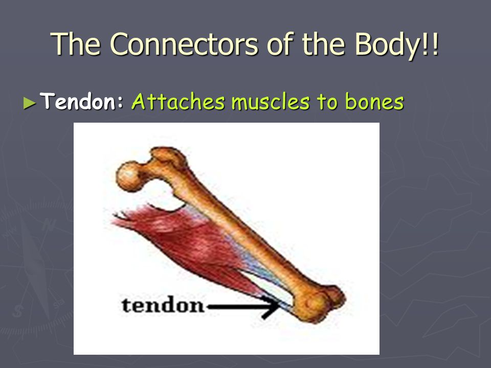 The Connectors of the Body!!