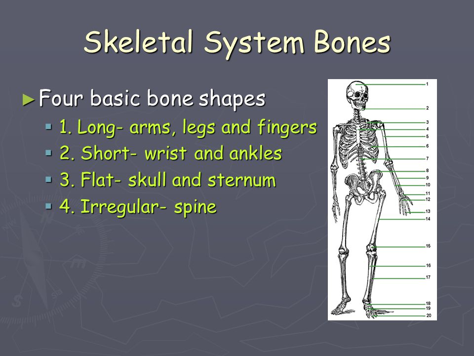 Skeletal System Bones Four basic bone shapes