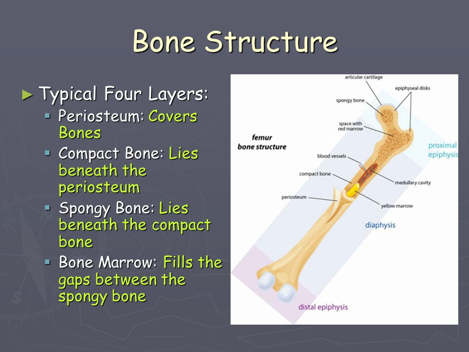 Bone Structure Typical Four Layers: Periosteum: Covers Bones
