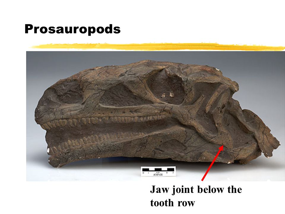 Prosauropods Jaw joint below the tooth row