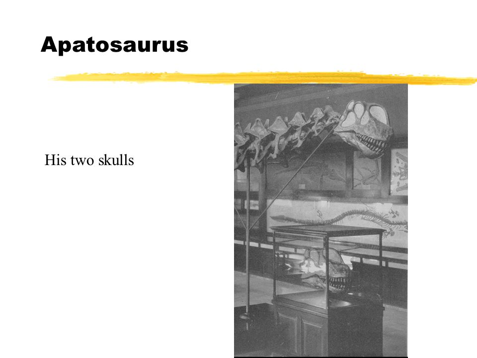 Apatosaurus His two skulls