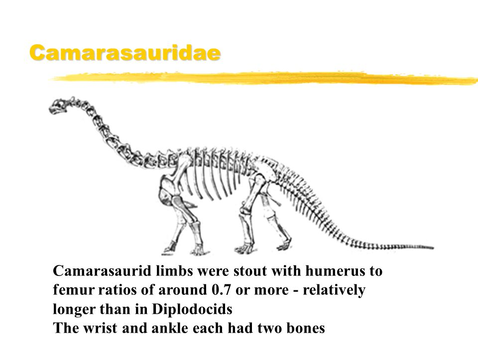 Camarasauridae Camarasaurid limbs were stout with humerus to femur ratios of around 0.7 or more - relatively.