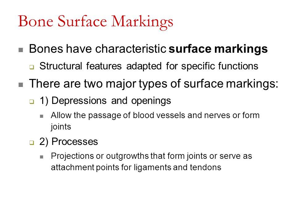 Bone Surface Markings Bones have characteristic surface markings