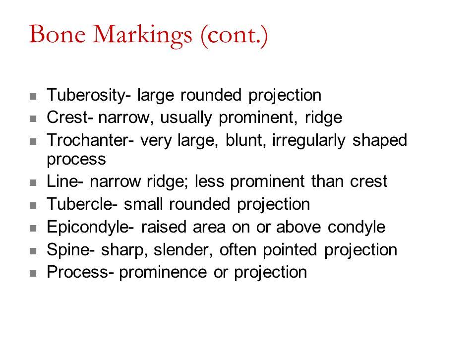 Bone Markings (cont.) Tuberosity- large rounded projection