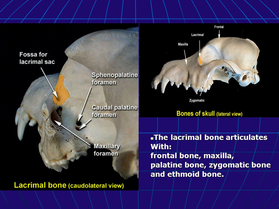 The lacrimal bone articulates