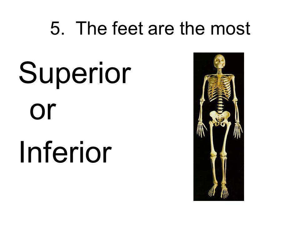 5. The feet are the most Superior or Inferior