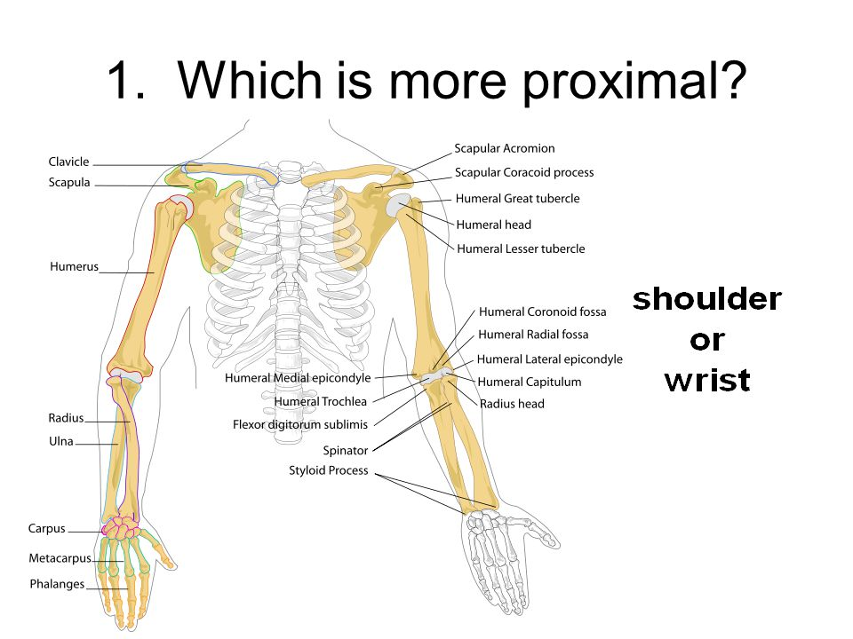 1. Which is more proximal