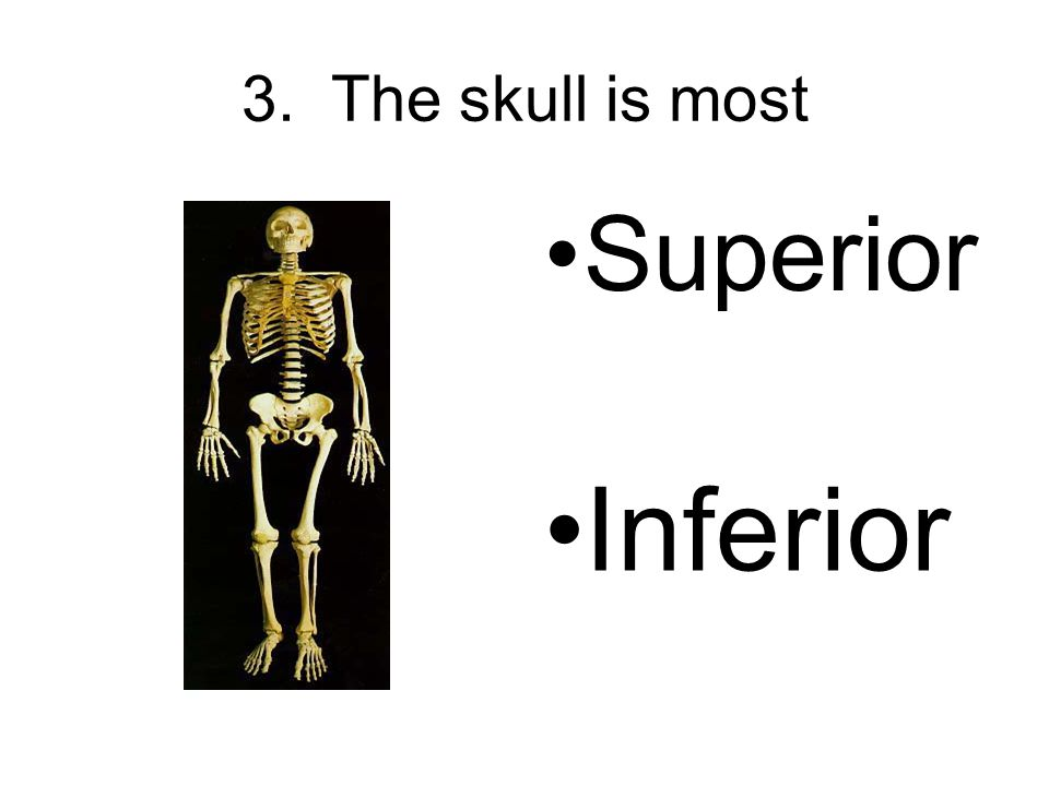 3. The skull is most Superior Inferior